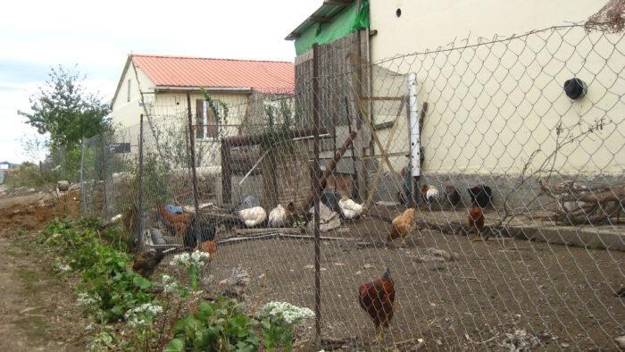 IMG_6524 - Ein bisschen Garten, ein bisschen Geflügel. Wer das bekommt, hat großes Glück!